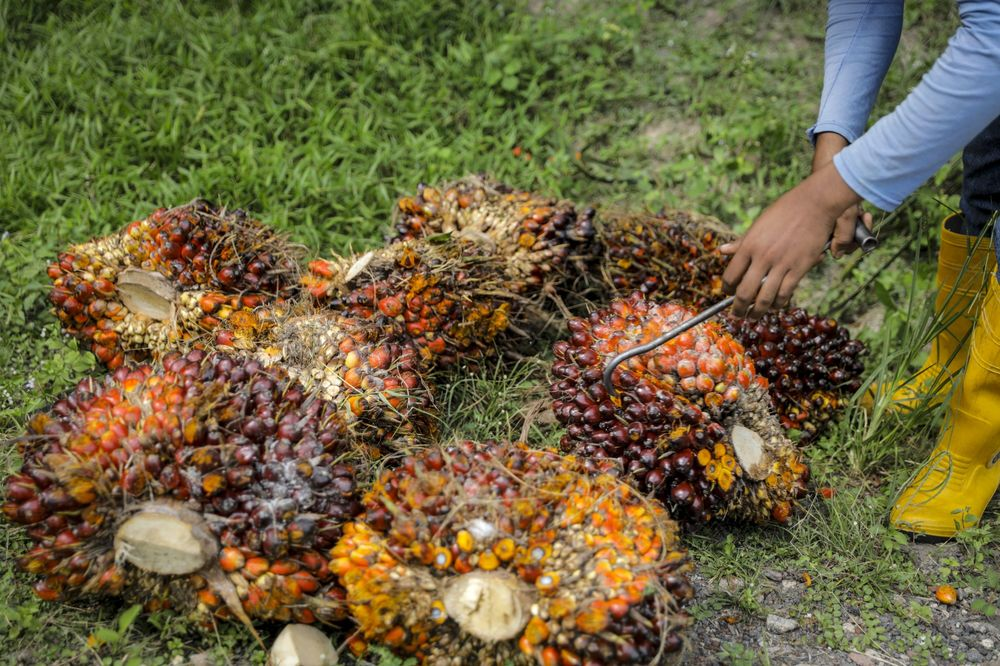 A worker inspects harvested palm oil fruit at a plantation in Malaysia.