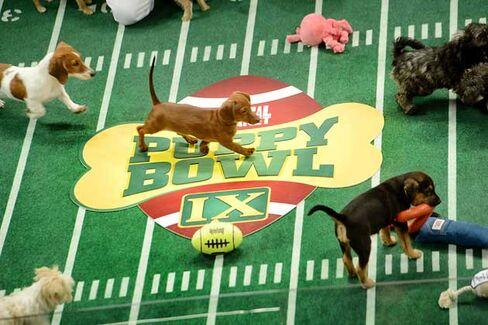 Puppy Bowl vs. Kitten Bowl: The 2014 Super Bowl Showdown