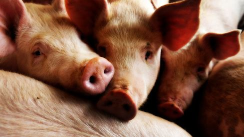 Russia banned EU pork imports in January 2014 after the discovery of African swine fever in wild boars in countries including Poland and Lithuania