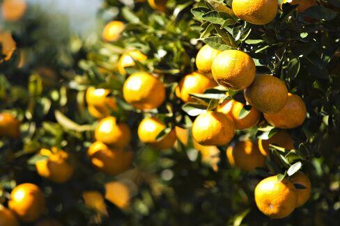 Orange Juice Falls as Florida Crop Seen Bigger Than Forecast