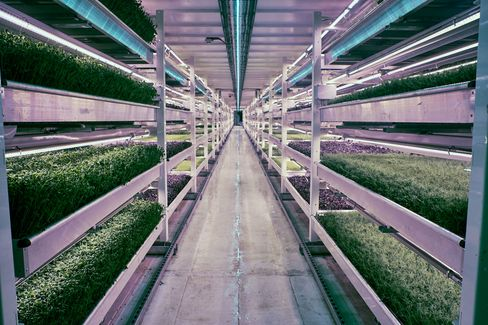 The vertical farms are made up of many growing beds stacked on top of each other inside tunnels and warehouses.
