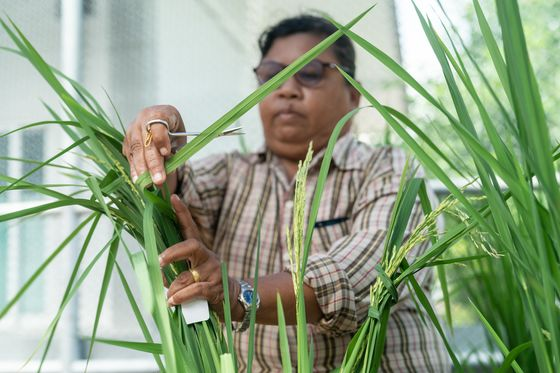 Thailand Bets on a New Rice Grain to Feed the World