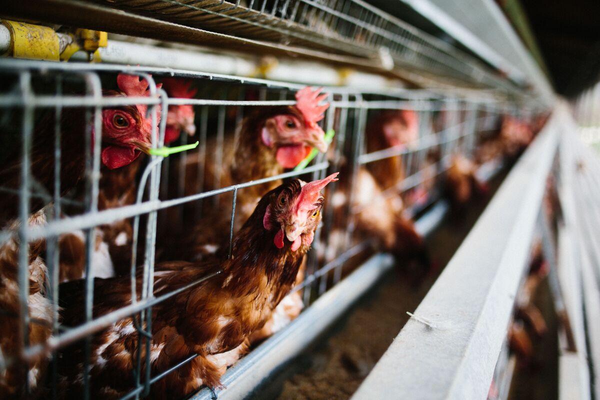 U.K. Tells Trump That American Chicken Is Still Off the Menu