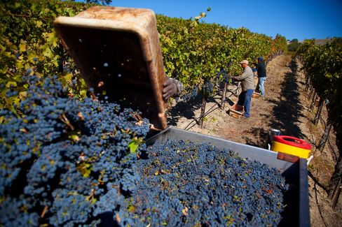 Workers harvest cabernet grapes at the Lagomarsino vineyard, owned by St. Francis Winery & Vineyards, in Healdsburg, California, U.S., on Monday, Oct. 14, 2013. Photographer: Tim Rue/Bloomberg