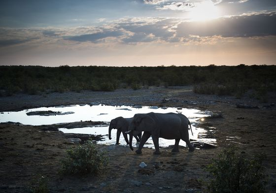 Where Elephants Roam, Leaders Float Idea of Reviving Ivory Trade