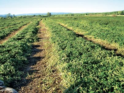 Mint fields in Clatskanie, Ore.