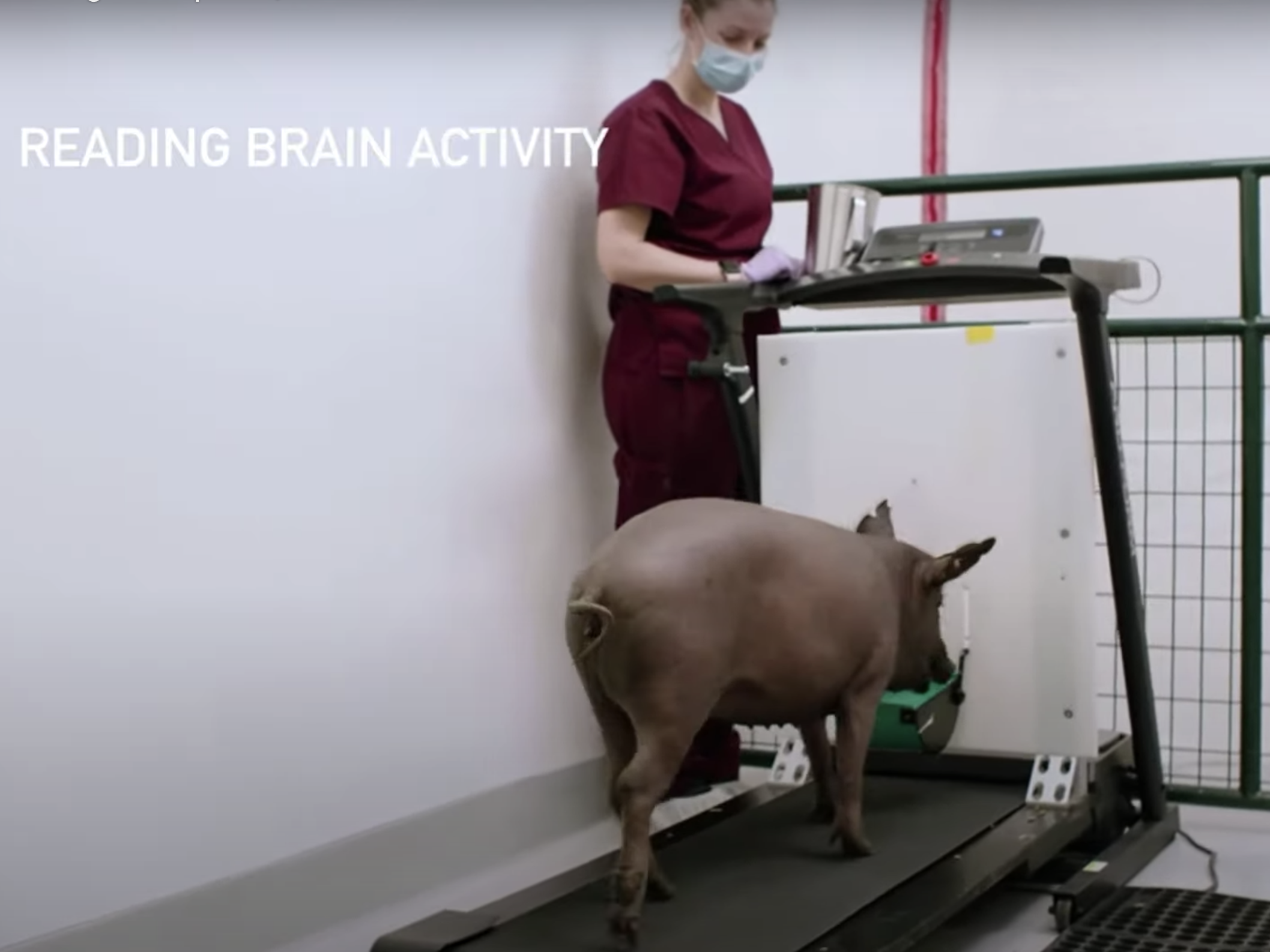 A pig having its brain activity read as it moves on a treadmill at Neuralink's headquarters in Fremont, California.