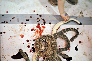 One thousand pounds of rattlers were eaten by festival-goers