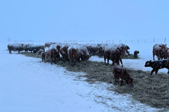 It's So Cold on the Plains That Calves' Ears Are Falling Off