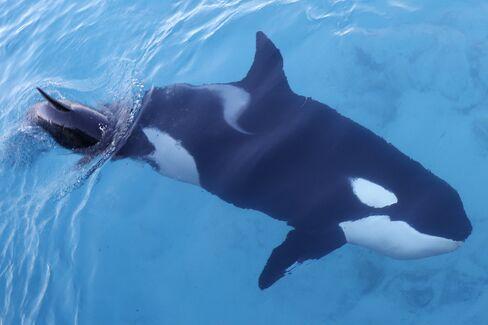FRANCE-ANIMALS-ORCA
