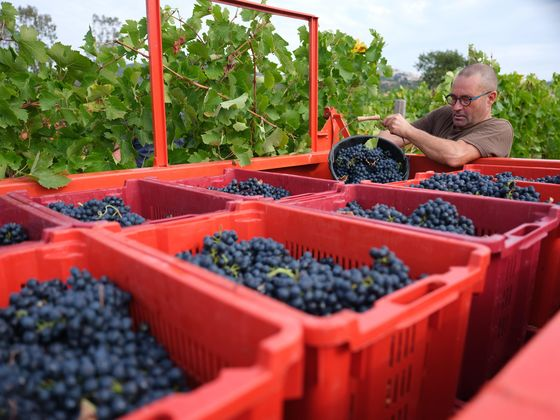 After Awful Year, a Small But Mighty Wine Vintage Is Expected