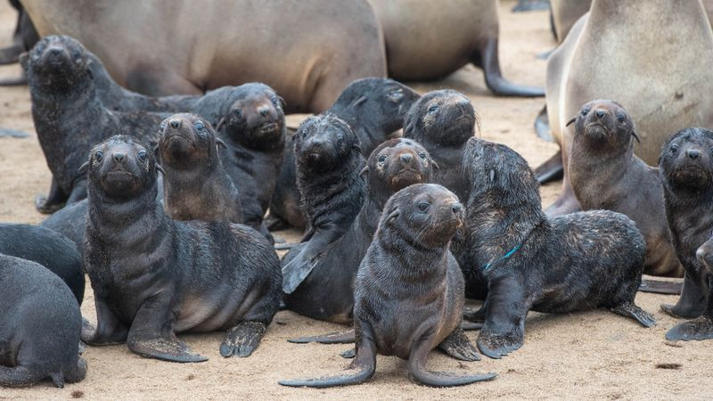 Die-Off of 5,000 Seal Pups on Beach Triggers Inquiry in Namibia