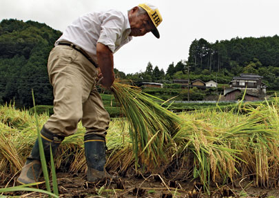 Bundling harvested rice in Sayo city, Hyogo, Japan