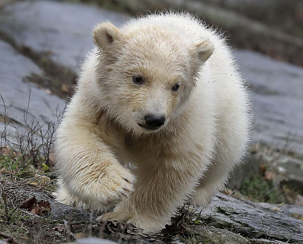 flipboard berlin zoo shows off new polar bear cub. Black Bedroom Furniture Sets. Home Design Ideas