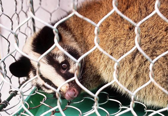 Contentious Hunt for Covid's Origin Points to China Animal Trade