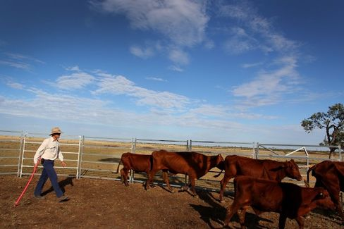 Forget Iron. Australian Miners Start Selling Cattle in China