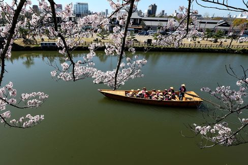 People Enjoy Full Bloom Cherry Blossom In Himeji