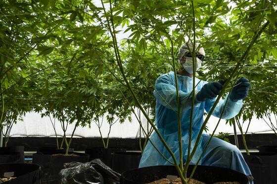 Cannabis Investors Eye Uruguay in Global Weed Export Push