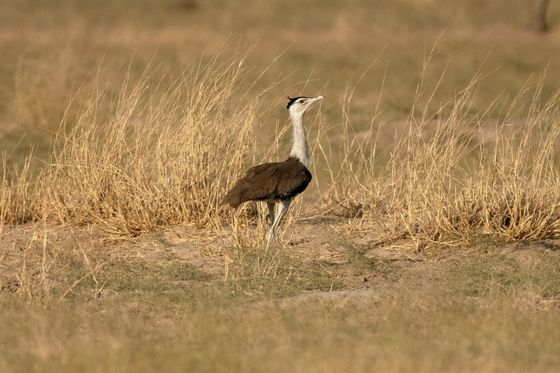 Giant Bird With Bad Eyesight Poses Dilemma for India's Green Goals