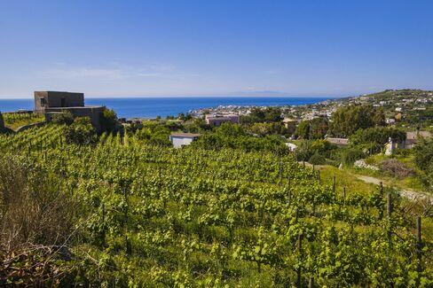 Grape vines on Ischia.