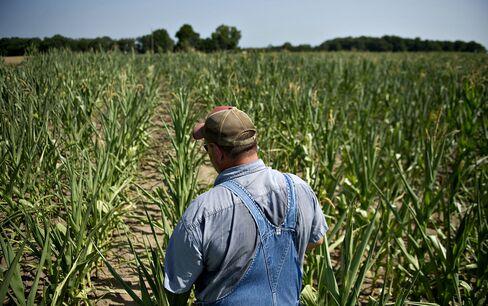 U.S. Corn-Crop Forecast Cut