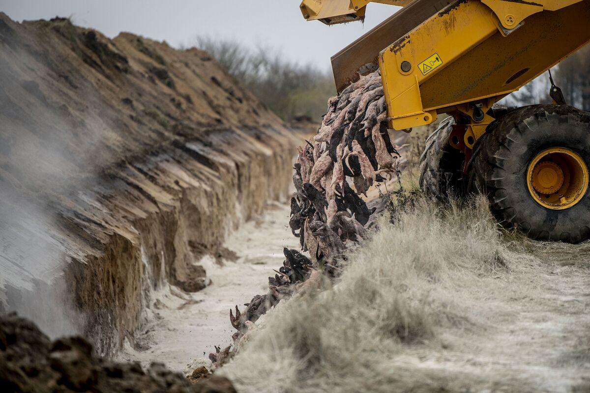 Denmark will dig up millions of dead mink after a speeding gnat