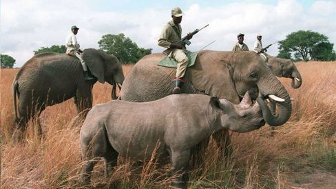 Armed rangers ride tamed elephants as they survey the black rhino population at the Imire Safari Ranch in Harare, Zimbabwe.