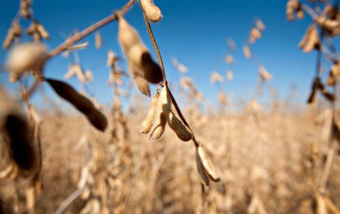 Newedge Says Soy Beats Corn as Cekander Talks Seeds