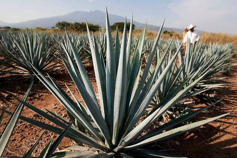Tequila agave plants, also known as blue agave, grow in a field in Guadalajara, Mexico.