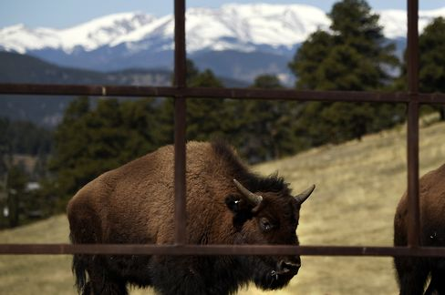 Bison in the Buffalo Herd at Genesee Park in Golden, Colorado