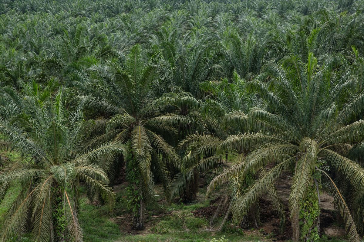 Kids Become Focus in Malaysia Over Palm Oil's Bid to Save Image