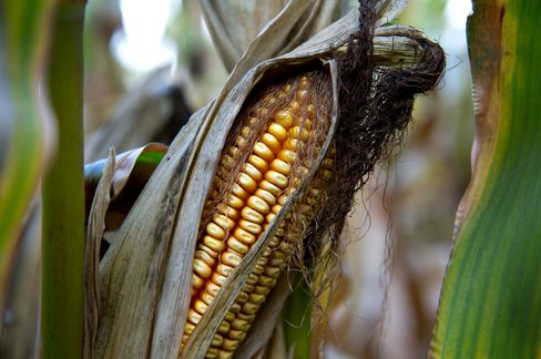 Drought-Damaged U.S. Corn Crop Pressuring Global Food Supply