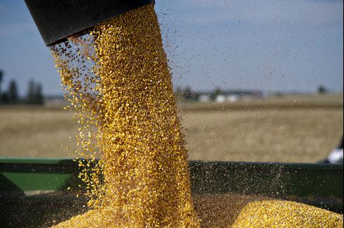 Corn is Transferred to a Grain Cart during Harvest near Malden