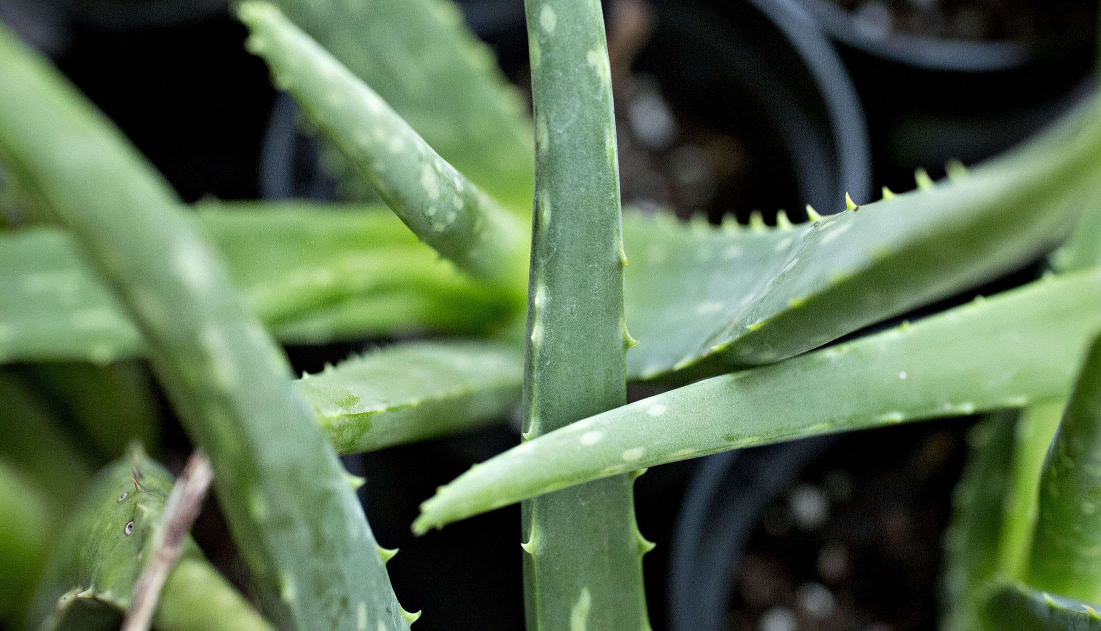 no evidence of aloe vera found in the aloe vera at wal-mart  cvs