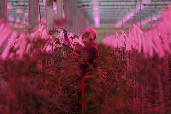 High-Tech Glasshouse Growing U.K. Tomatoes Calls Brexit a 'Dream'