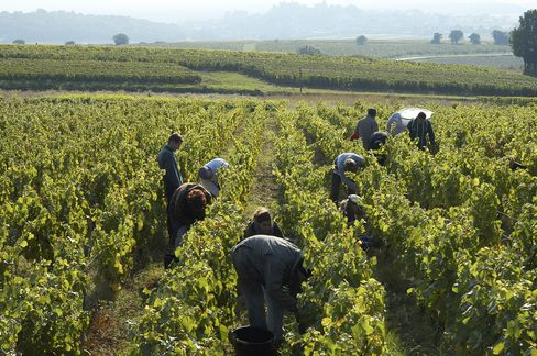 Workers picking during the 2014 harvest in Burgundy.