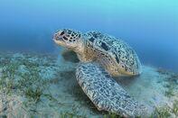 Huge green sea turtle