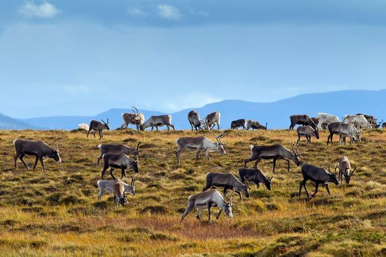 Sweden and Norway's Long-Running Reindeer Feud Is Getting Worse