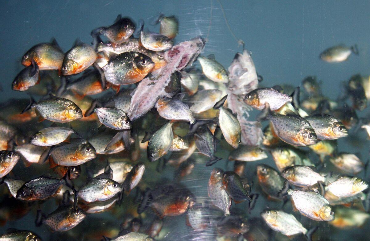 рыбалка пираньи купить