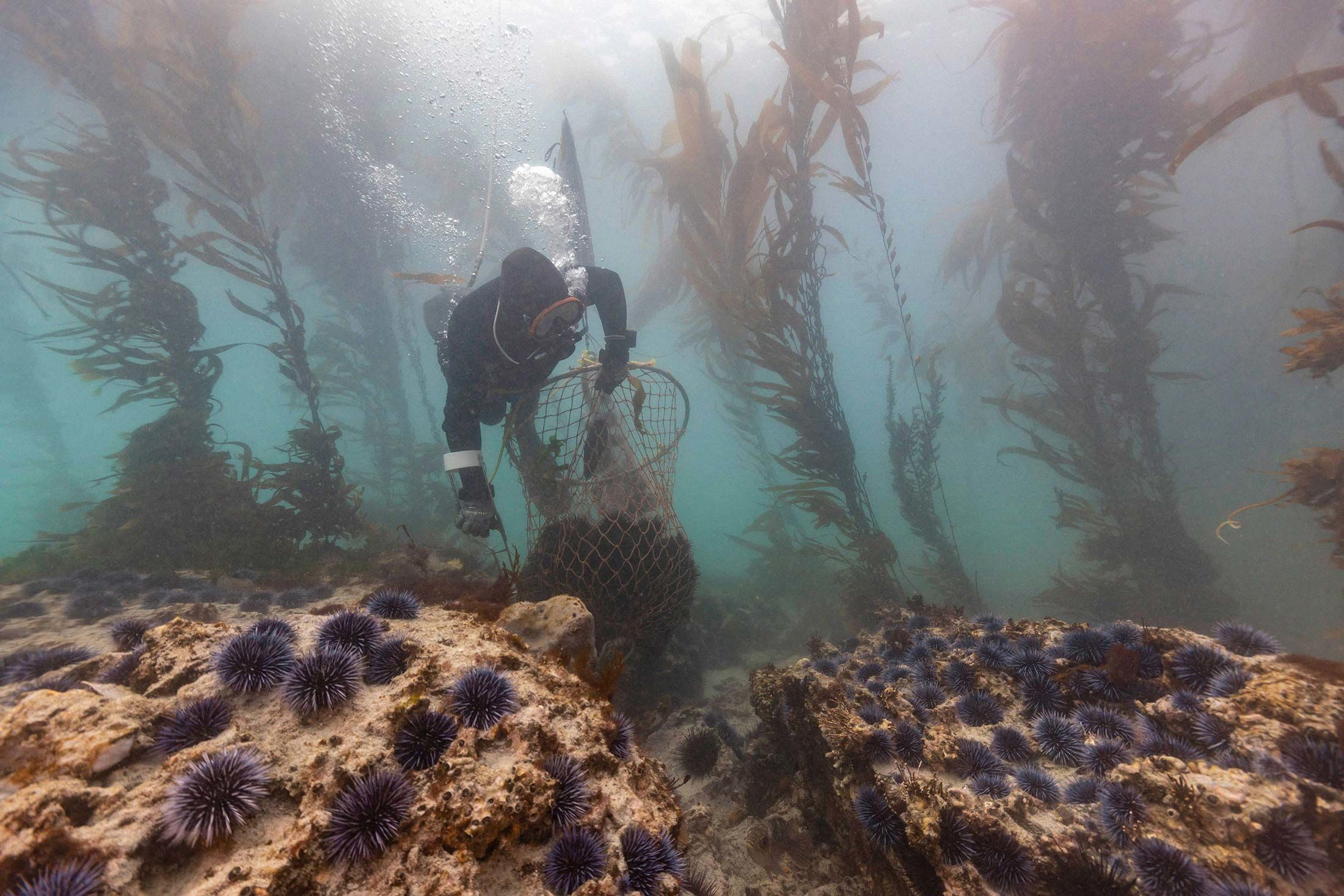 Diving for Sea Urchins to Revive Barren Oceans