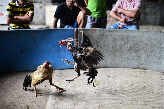 Cockfighting, Gambling Make Thailand's Covid Fight Tougher
