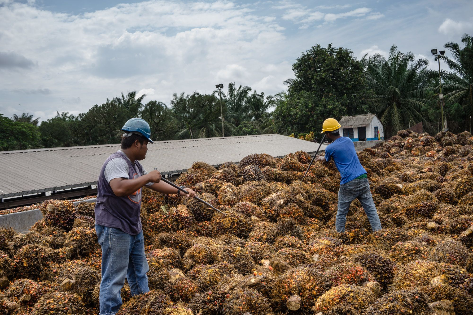 Workers sort bunches of palm fruit at a palm oil mill in Malaysia.