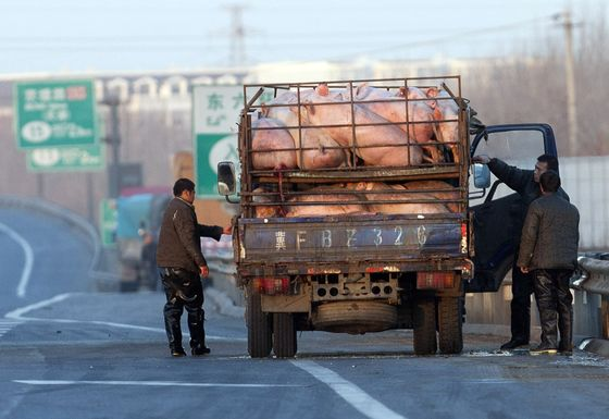 Tiny Pig Farms Complicating China's Fight Against Deadly Virus