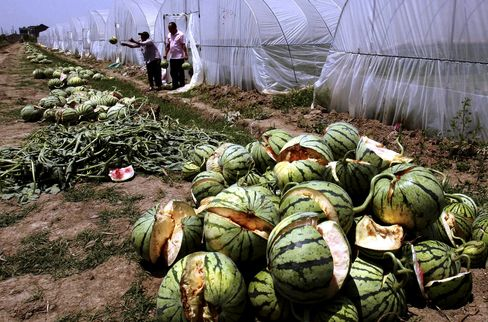 Chinese Watermelons 'Explode,' Maybe From Chemical