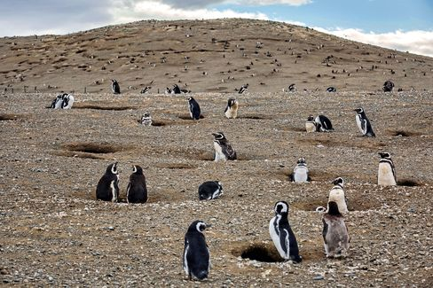 Penguins in their burrows on an island off the southern tip of Chile.