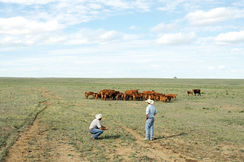 U.S. Cattle Ranchers Endure More Drought, Rising Feed Prices