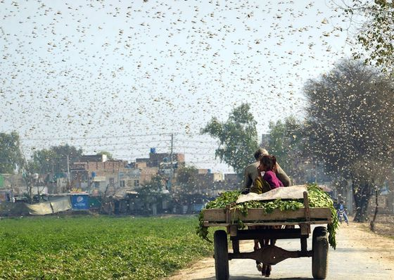 Army of 100,000 Chinese Ducks Ready to Fight Locust Swarms