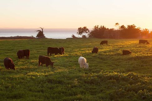 Cows graze on South Naples' bluffs.