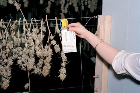 Colorado's Legal Pot Growers Grumble About RFID Tagging