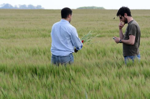 Buenos Aires Grains Exchange analysts Mariano Lopez, left and Esteban Copati, right check crops in a barley field.